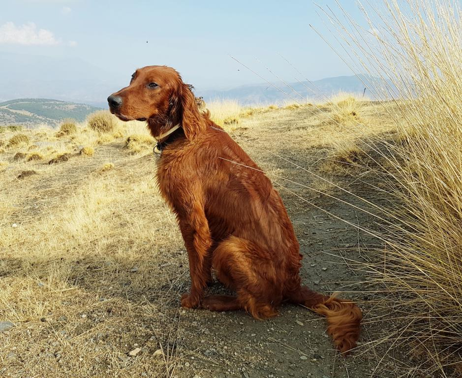 Rory the Irish Setter