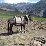Neighbour's mule